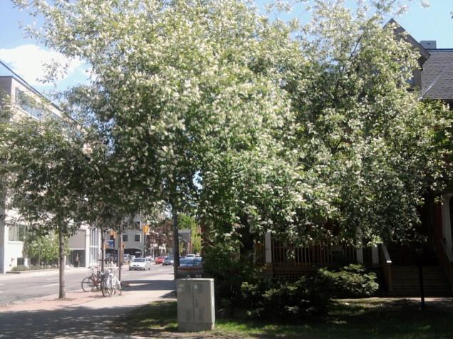 LILAC TREE 2014